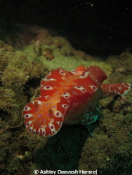 Colourfull nudibranch found close to the glenelg barge wr... by Ashley Deevesh Hemraj 